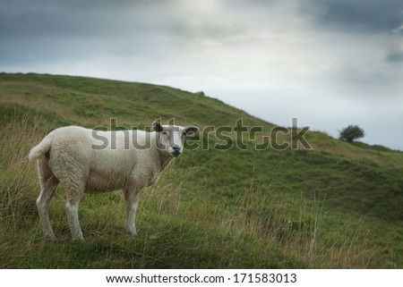Sheep grazing on a hillside, England