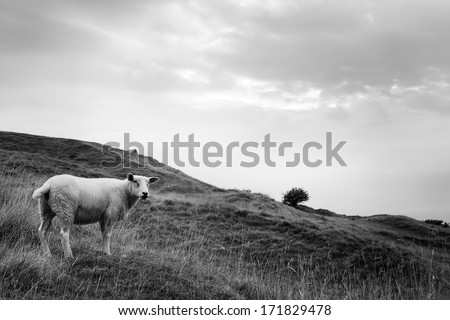 Sheep grazing on a hillside, England - stock photo