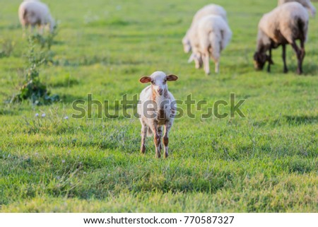 Sheep grazing on green grass during a nice day