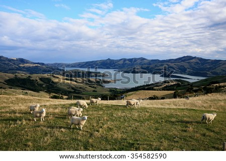 Sheep grazing on hill with harbor bay view along Summit Road, Akaroa, Banks Peninsula, South Island, New Zealand in autumn. - stock photo
