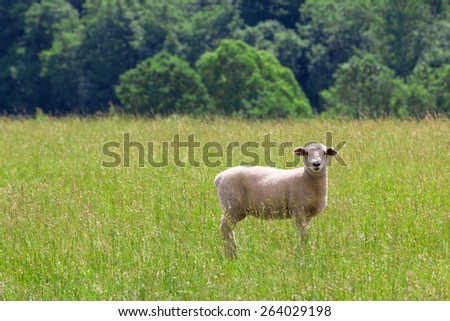 Sheep grazing on summer meadow - stock photo