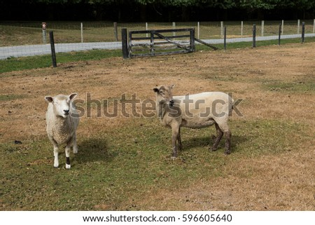Sheep grazing on the field.
