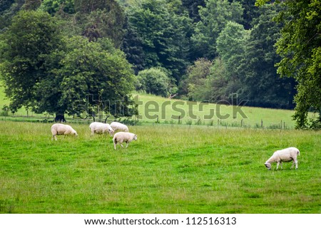 Sheep grazing on the meadow in summer