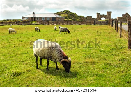 Sheep grazing peacefully on the green field with some old castle ruins on the background in Ireland.  - stock photo
