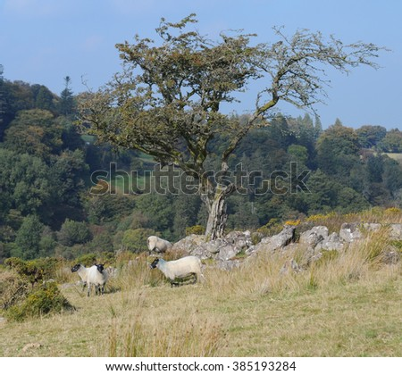 Sheep Grazing under a Hawthorn Tree at the Ancient Settlement of Round Pound on Chagford Common, near the Rural Market Town of Chagford, within Dartmoor National Park, Devon, England, UK - stock photo