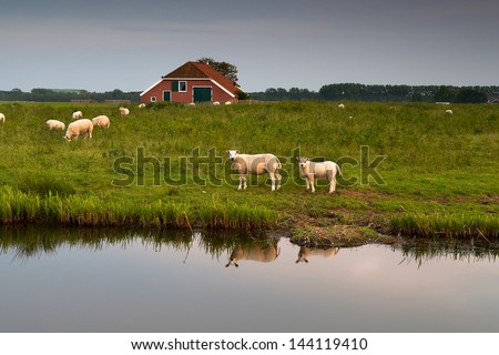 sheep herd at farm reflected in river, Holland - stock photo