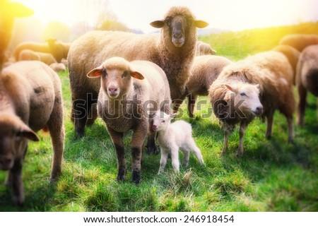 Sheep herd at green field - stock photo