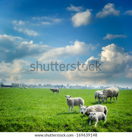 Sheep herd at green summer field  - stock photo