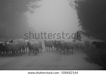 sheep herd in misty day, black and white animal landscape, low key technique