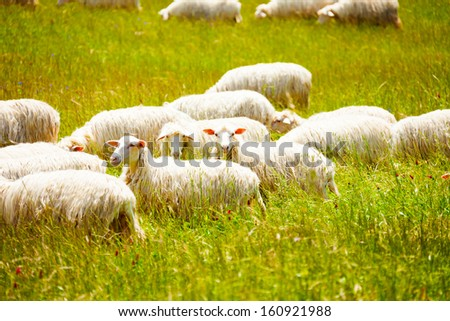 Sheep herd on the farm grazing grass with one looking at camera  - stock photo