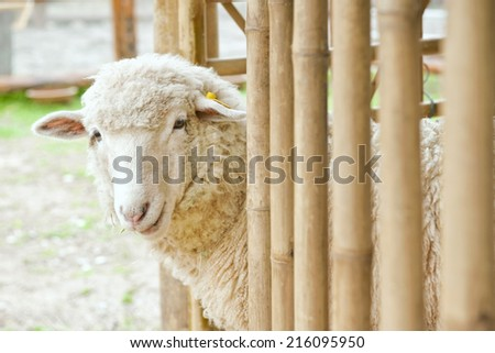 Sheep in a bamboo stable  - stock photo