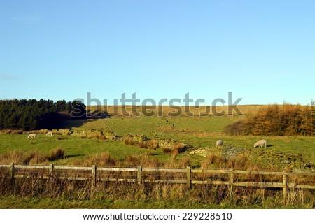 Sheep in a field on the West Pennine Moors near Darwen - stock photo