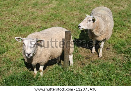 Sheep in a meadow in The Netherlands. - stock photo
