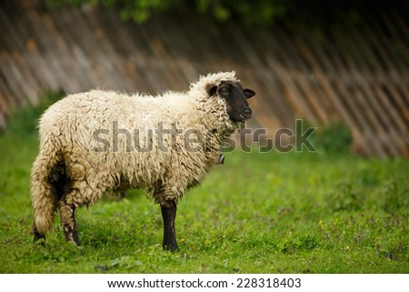 Sheep in a meadow on a farm, on pasture