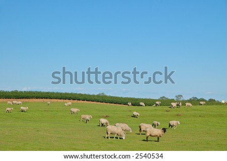 Sheep in a pasture in Northern California in spring - stock photo