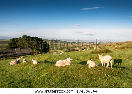 Sheep in a traditional English meadow with farmhouse behind,  Northumberland UK  - stock photo