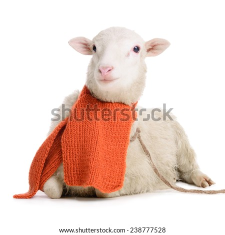 Sheep in Christmas scarf. animal isolated on white background - stock photo
