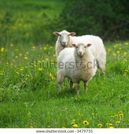 sheep in dandelion field - stock photo