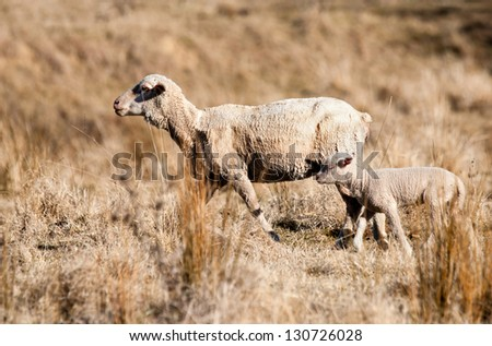 sheep in drought - stock photo