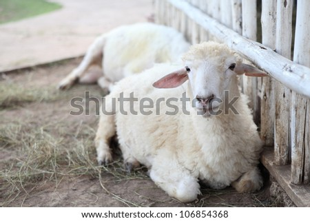 sheep in field - stock photo