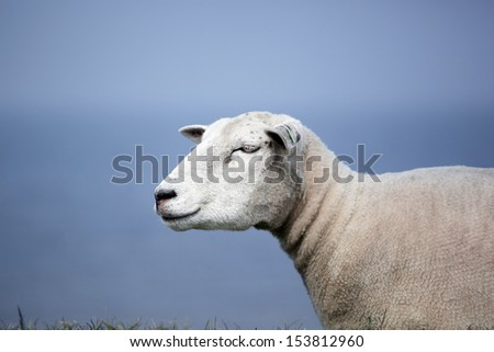 sheep in front of the sea - stock photo