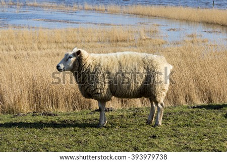 sheep in front of water - stock photo