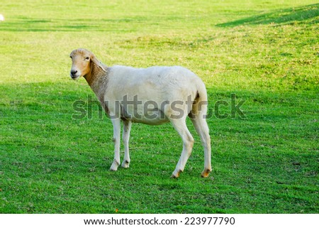 sheep in green field farm - stock photo