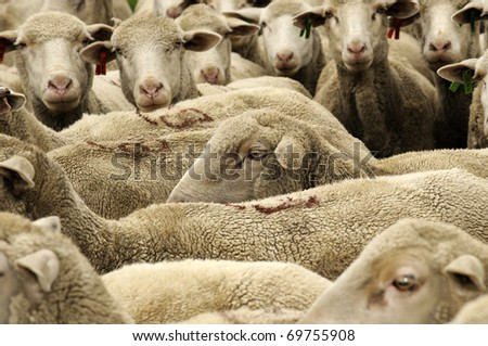 Sheep in  group