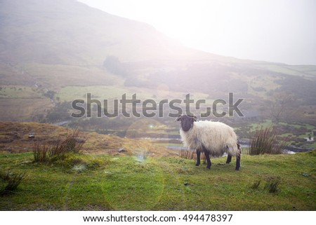 Sheep in Highlands