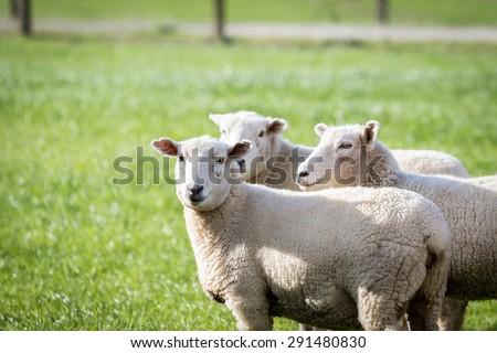 Sheep in lush green paddock - stock photo