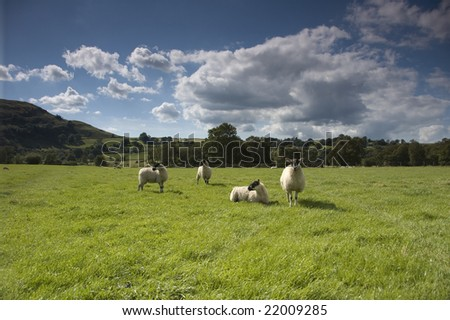 sheep in meadow, lake district, uk