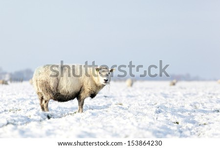 sheep in meadow with snow - stock photo