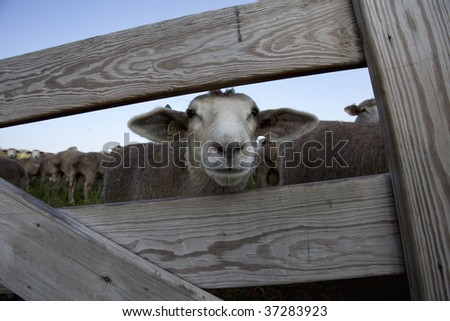 Sheep Pen Stock Images Royalty Free Images Amp Vectors