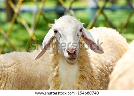 Sheep in Sheeps - stock photo