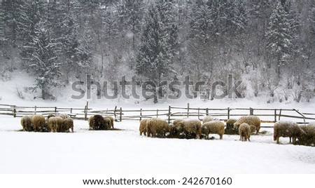 Sheep in snow - stock photo