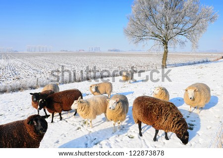 Sheep in snowy winter landscape in Holland - stock photo