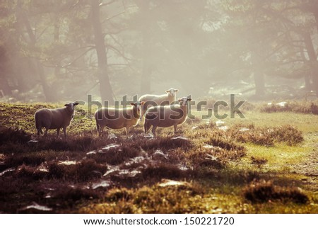 sheep in the early morning light on the Dutch heath - stock photo