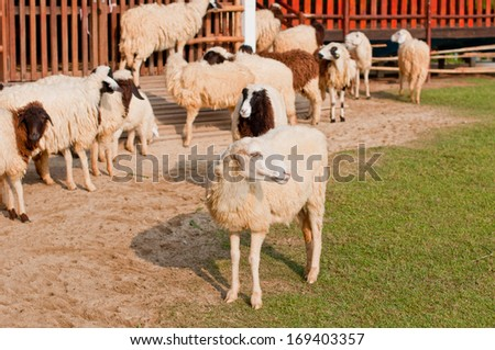 Sheep in the farm