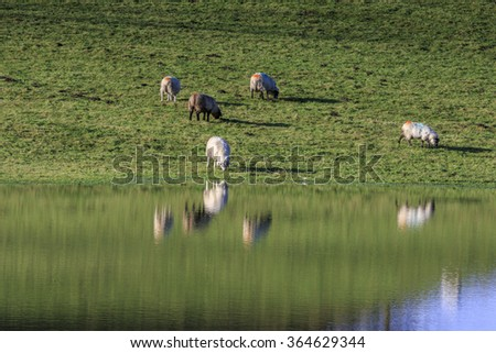 sheep in the field with reflection