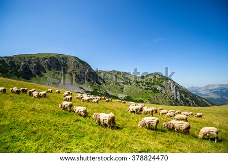 Sheep in the green hills of the mountains. valuable fleece - stock photo