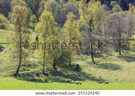 Sheep in the meadow in spring landscape - stock photo