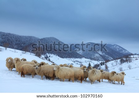 Sheep in the mountains in winter - stock photo