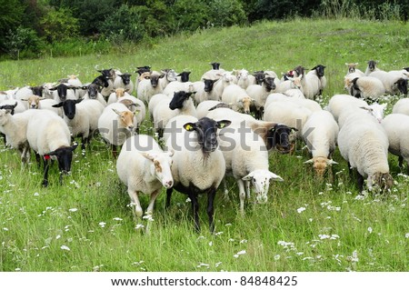 sheep in The Netherlands - stock photo