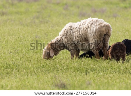 sheep in the pasture in nature - stock photo
