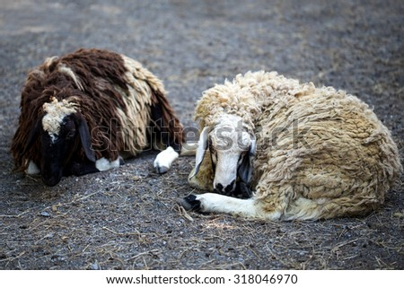 sheep is laying on ground - stock photo