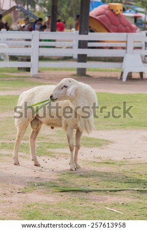 sheep is standing on pasture in the farm - stock photo
