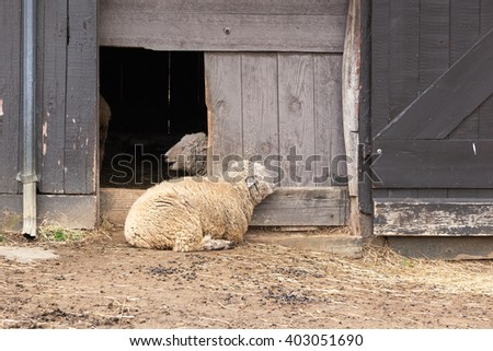Sheep lay outside their barn on a spring day. - stock photo