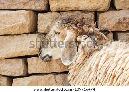 Sheep lean the wall - stock photo