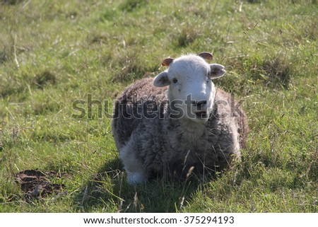 Sheep lies in the grass