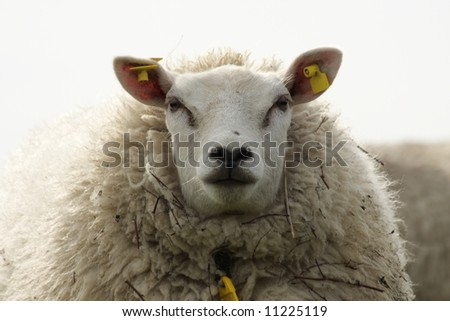 sheep looking at the viewer